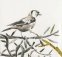 Goldfinch-